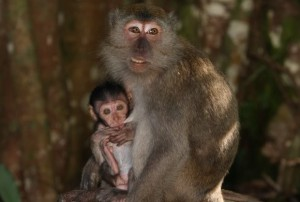 Long-tailedMacaque2-1 (620x418)